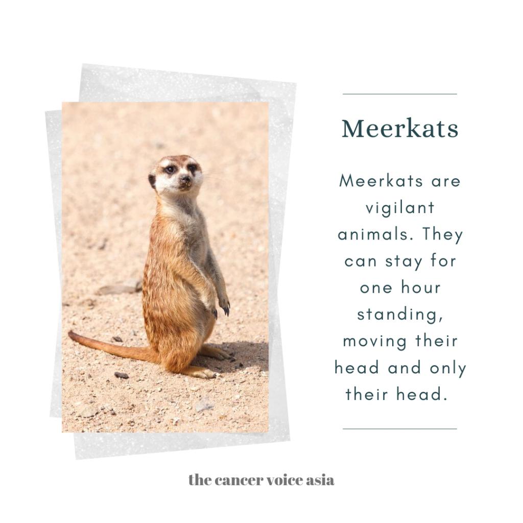 """alt=""""meerkats"""""""